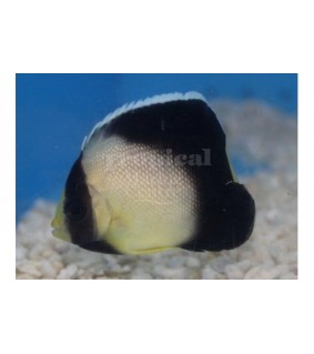 Apolemicthys xanthotis - Kultakorvakeisarikala