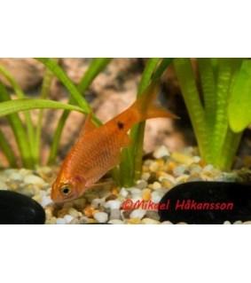 Loistobarbi punaneon koiras - Barbus conchonius