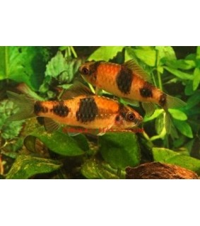 Hehkubarbi - Haludaria fasciatus