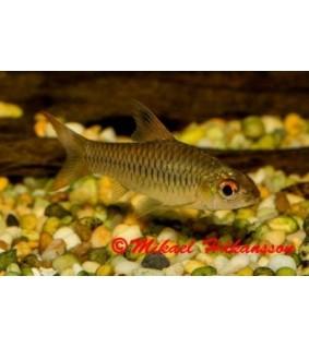 Loistoeväbarbi - Barbus callipterus