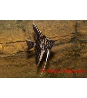 Lehtikala marmori - Pterophyllum scalare
