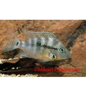 Tulisuu 4-5 cm - Thorichthys meeki