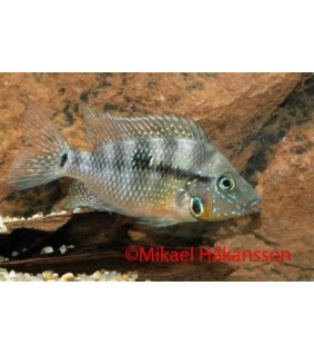 Tulisuu 5-7 cm - Thorichthys meeki