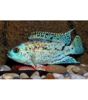 Helmikirjoahven sininen - Rocio octofasciatum
