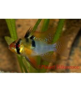 Perhoskirjoahven 4-4,5 cm - Mikrogeophagus ramirezi