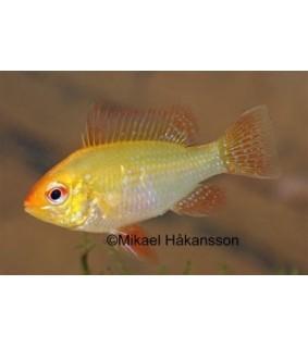 Perhoskirjoahven keltainen - Microgeophagus ramirezi