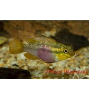 Pelvicachromis silviae