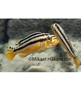 Kultamalawiahven 4-6 cm - Melanochromis auratus