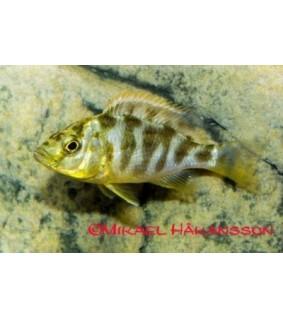 Riikinkukkohautoja 6-8 cm - Nimbochromis venustus