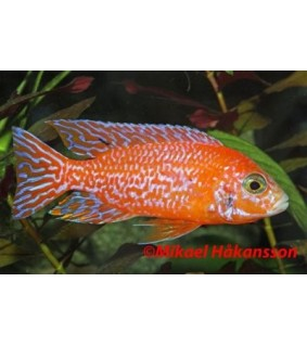 "Aulonocara sp.""Firefish"" 6-8 cm - Aulonocara sp.""Firefish"""