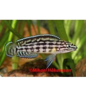 Ruutukoruahven - Julidochromis marlieri