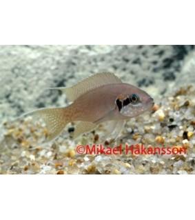 Viirikirjoahven - Neolamprologus brichardi