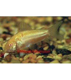 """Albiinomonninen (kuparimonninen) - Corydoras """"sp aeneus"""""""