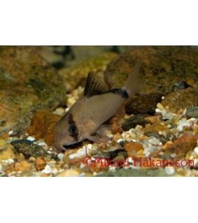 Mustaselkämonninen - Corydoras metae
