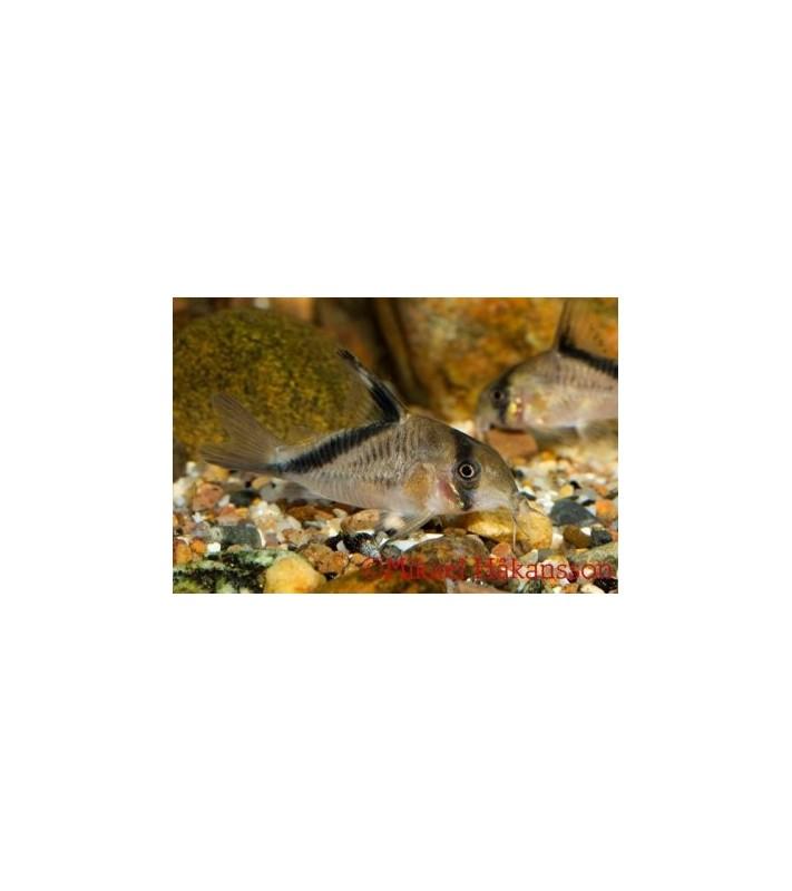 Kultajuovamonninen 3-4 cm - Corydoras melini
