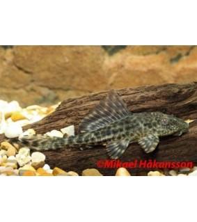 Pterygoplichthys pardalis 5-6 cm - Pterygoplichthys pardalis