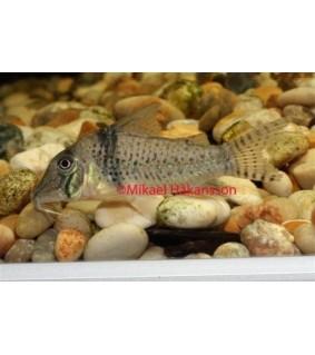 Vannemonninen - Corydoras pastazensis