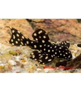 Pseudoacanthicus sp.L-097 - Pseudoacanthicus sp.L-097
