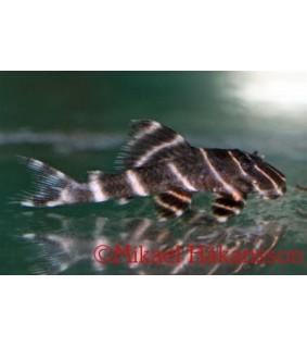 Panaqolus albivermis L204 7-10 cm - Panaqolus albivermis