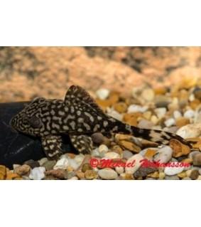 Panaque schaeferi L203 3-5 cm - Panaque schaeferi