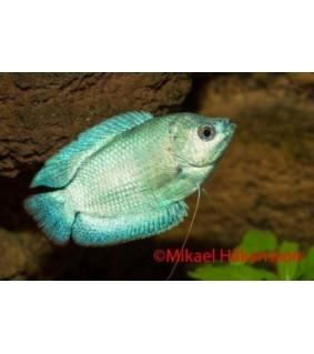 Kääpiörihmakala neon cobolt - Trichogaster lalius