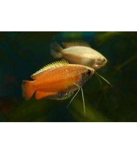 Hunajarihmakala - Trichogaster chuna