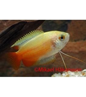Hunajarihmakala kulta - Trichogaster chuna
