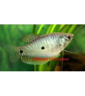 Sinirihmakala 5-6 cm - Trichogaster trichopterus