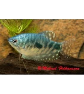 "Marmoririhmakala 5-6 cm - Trichogaster trichopterus ""cosby"""
