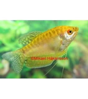 Keltarihmakala - Trichogaster trichopterus