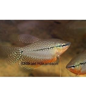 Helmirihmakala - Trichogaster leeri