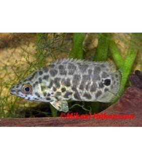 Pantterikiipijäkala - Ctenopoma acutirostre