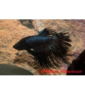 Taistelukala koiras Black Orchid Crowntail - Betta splendens