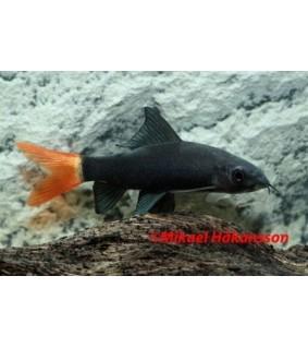 Epaizeorhynchus bicolor - Epaizeorhynchus bicolor