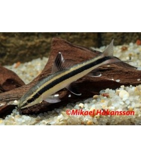 Kuonobarbi - Epalzeorhynchus kallopterus