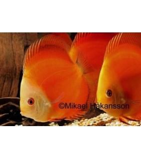 Kiekkokala Red Melon 8-9 cm - Symphysodon aequifasciatus