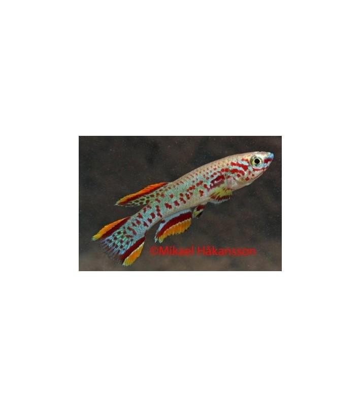 Täpläviiripyrstö - Fundulopanchax gardneri