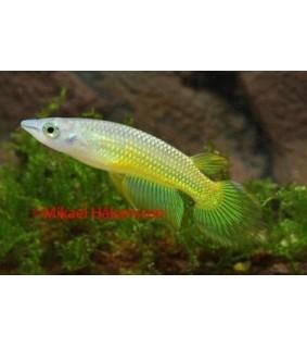 """Aplocheilus lineatus """"gold"""""""