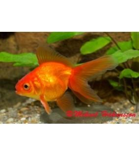 Kultakala fantail punainen 3-5 cm - Carassius auratus