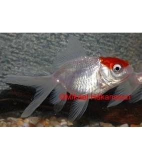 Kultakala fantail Redcap 7-8 cm - Carassius auratus