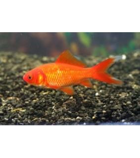Kultakala punainen 4-7 cm - Carassius auratus