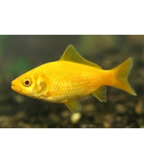 Kultakala keltainen - Carassius auratus