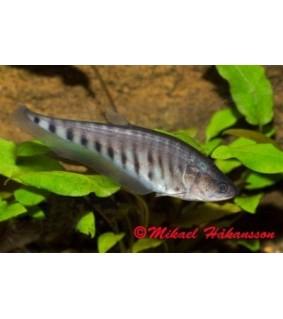 Koruteräkala - Chitala ornata