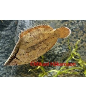 Lehväkala - Monocirrhus polyacanthus