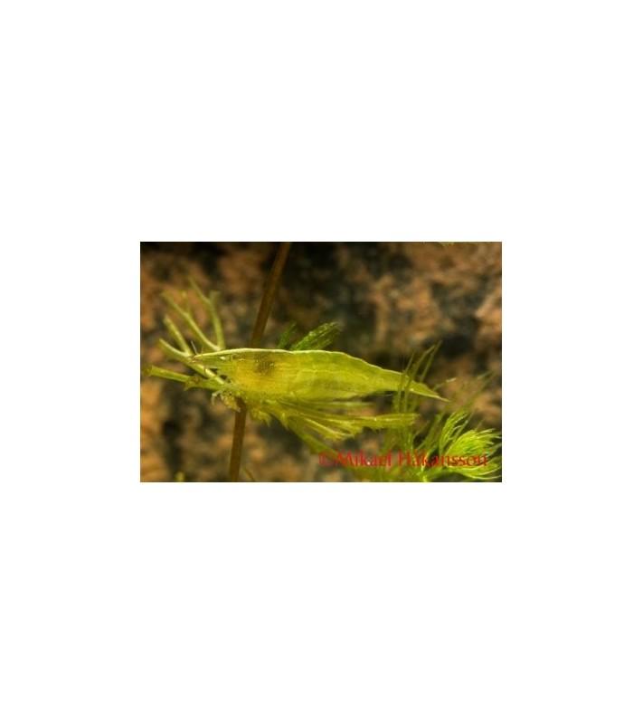 Vihersukarapu - Caridina cf.babaulti