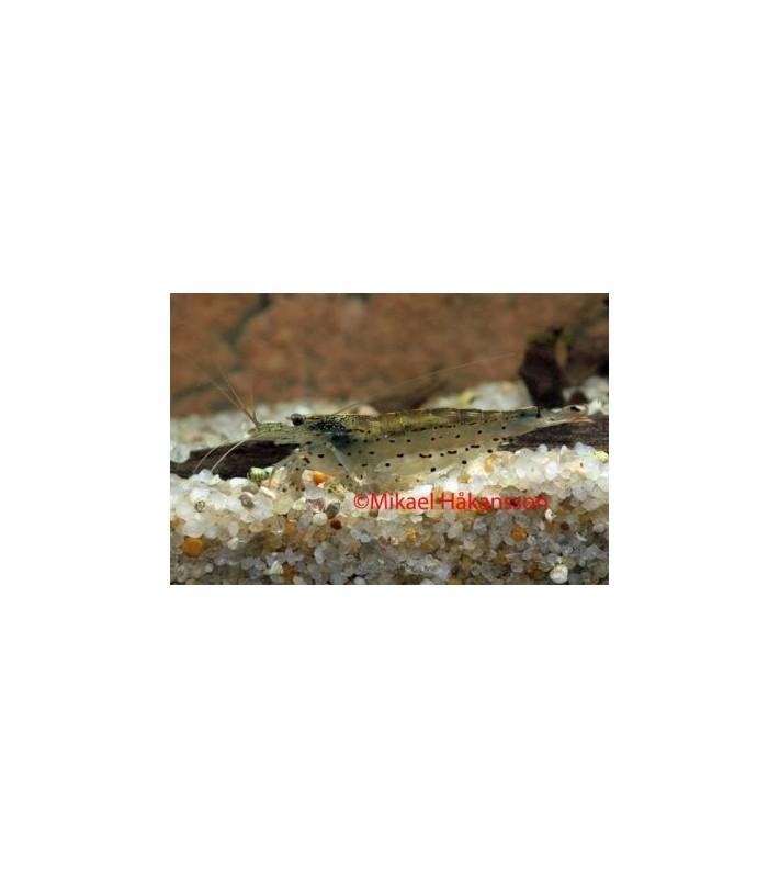 Leväsukarapu - Caridina multidentata