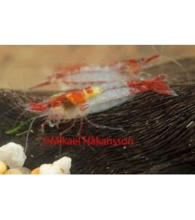 Neocaridina davidi punainen - Neocaridina davidi