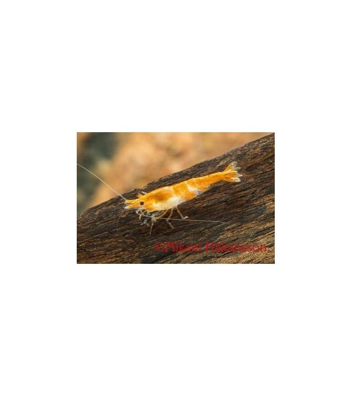 Neocaridina davidi oranssi - Neocaridina davidi