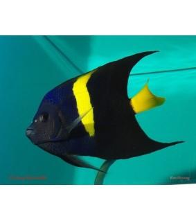 Pomacanthus asfur , Sirppikeisarikala