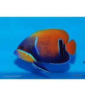 Pomacanthus navarchus , Tarukeisarikala , aikuisväritys